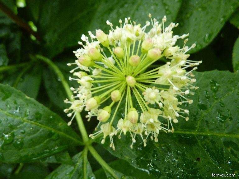 Akantopanax ostnitý - květ (Wu Jia Pi)