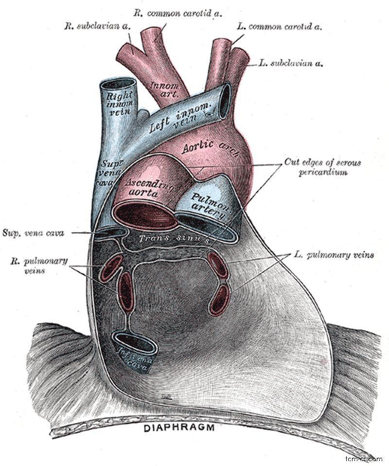 Perikard, osrdečník - zadní stěna perikardu se vstupem cév, kaudálně naléhající na bránici