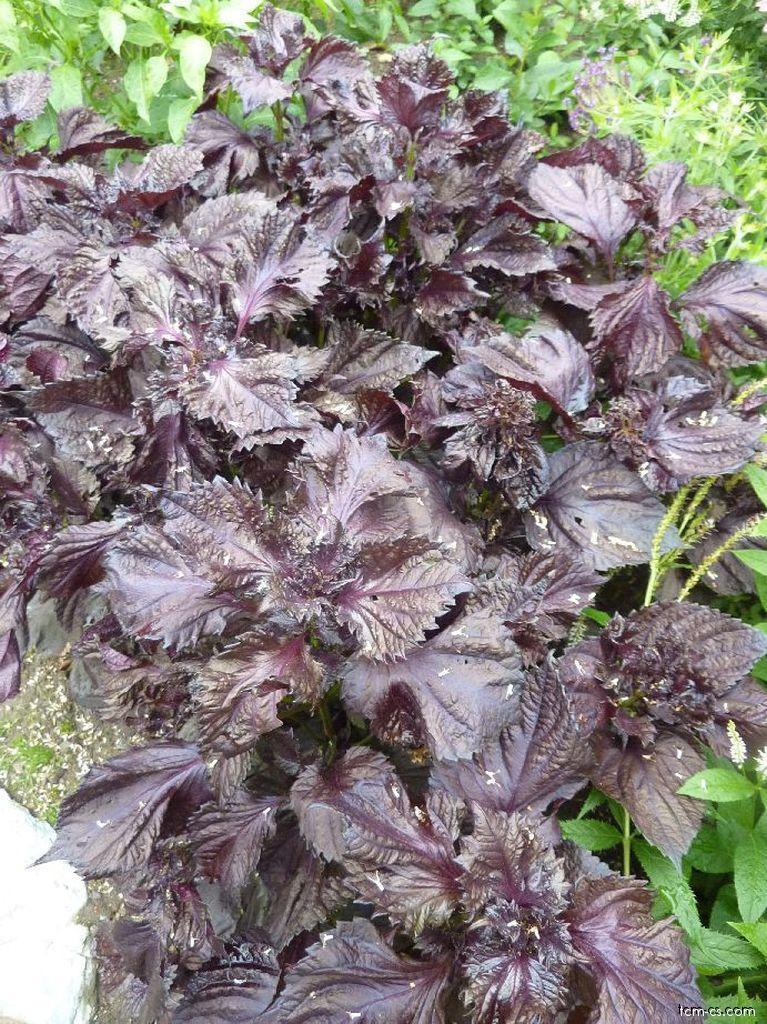 Perila křovitá - listy (Perillae folium)