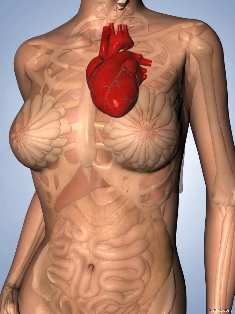 Krev - srdce řídí krev a cévy
