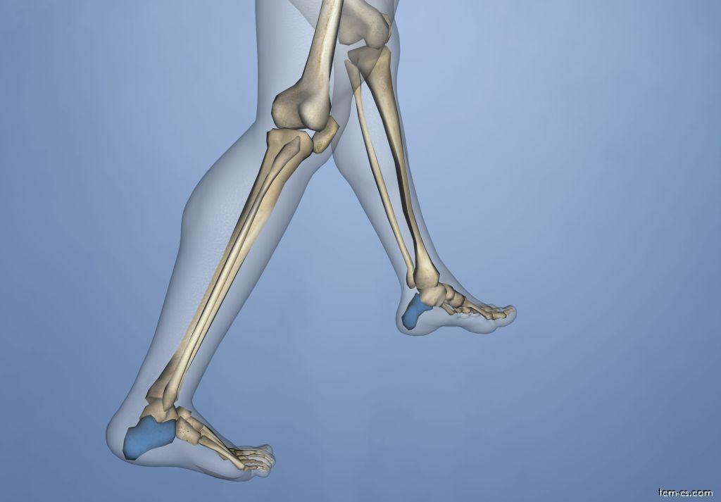 Calcaneus - patní kost