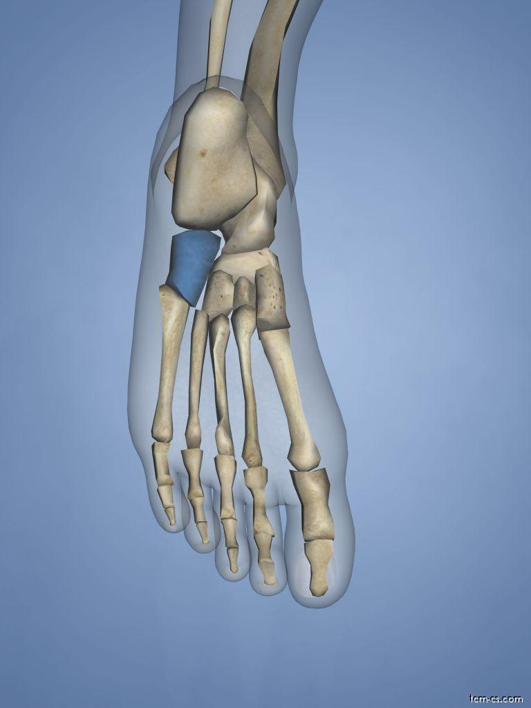 Cuboid - krychlová kost