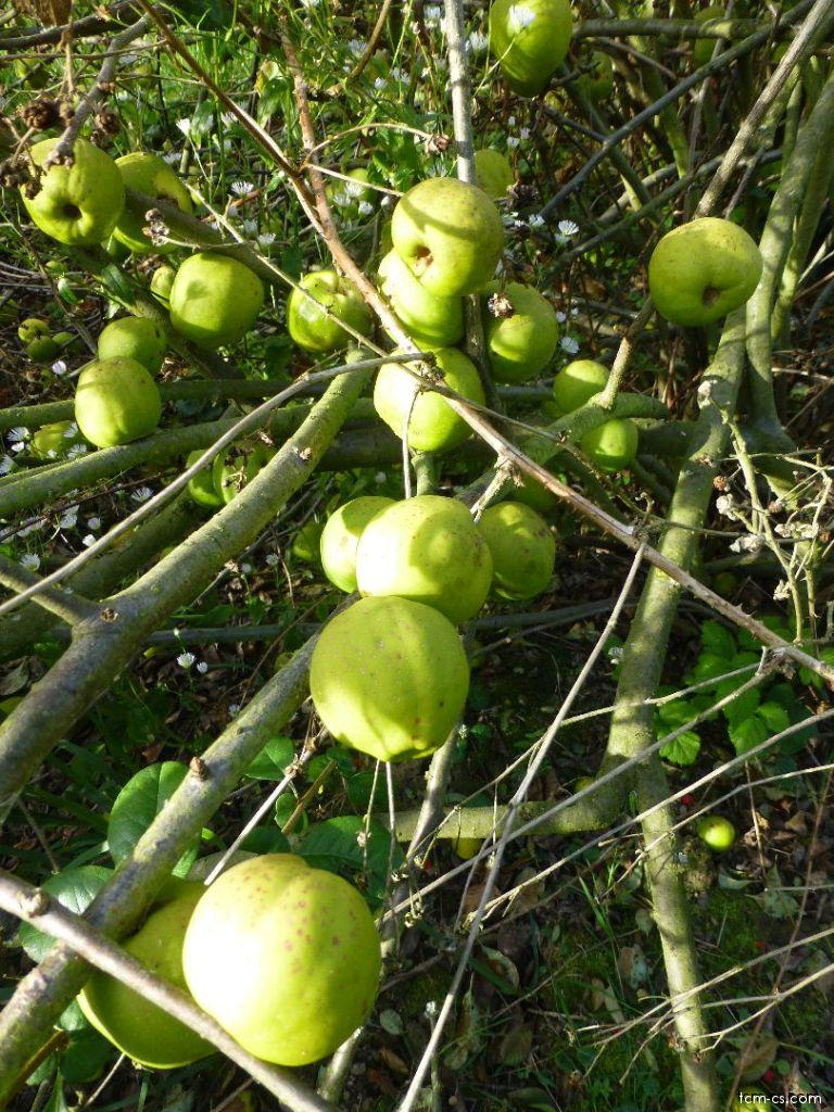 Kdoulovec ozdobný, plody (Mugua)
