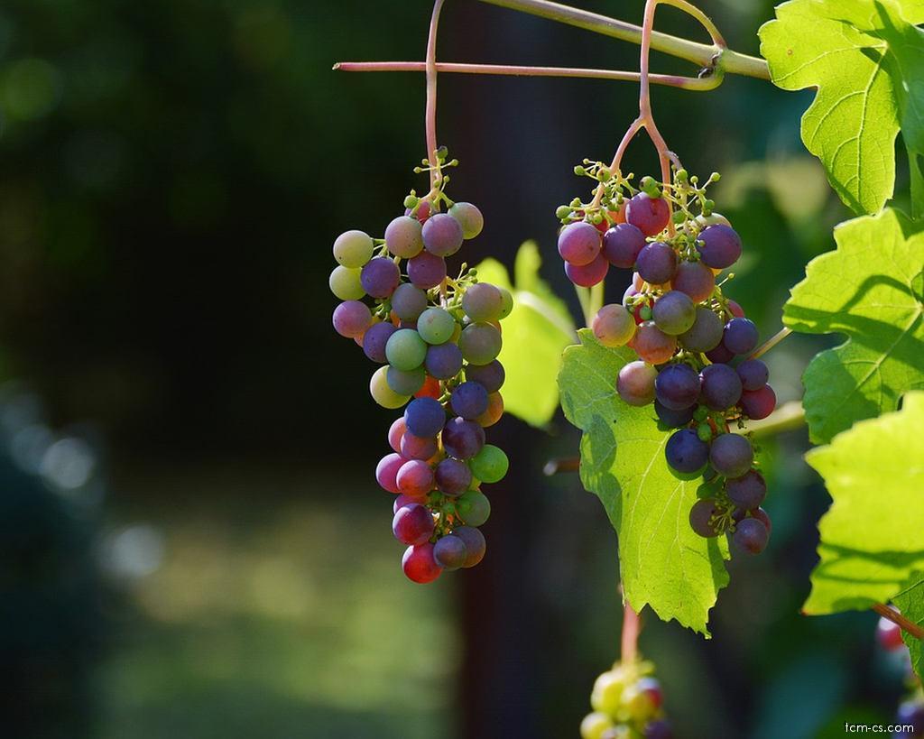 Víno hroznové